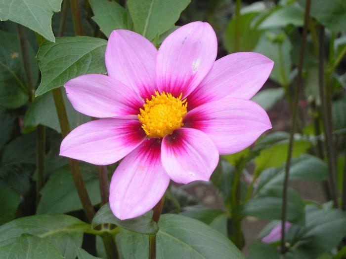Георгины розовые Princess Marie Jose фото
