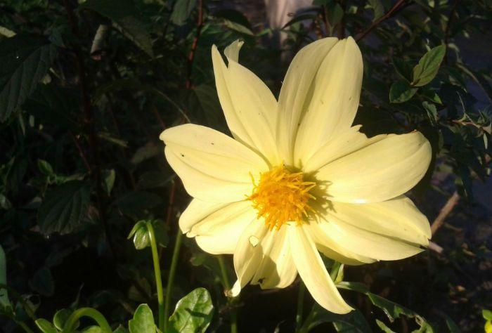 Георгины желтые Yellow Hammer фото