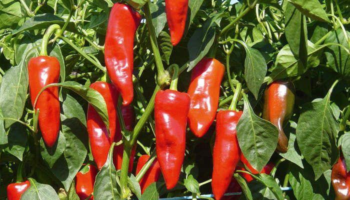 Горький перец Красный толстяк фото