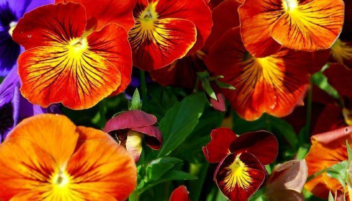 Фиалка Оранжевое совершенство фото
