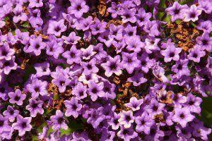 Гелиотроп цветок фото