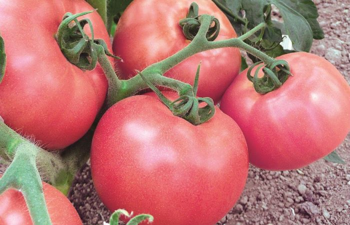 Сорт томатов Демидов фото