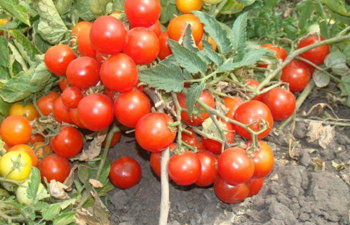 Сорт томатов Ультраскороспелый фото