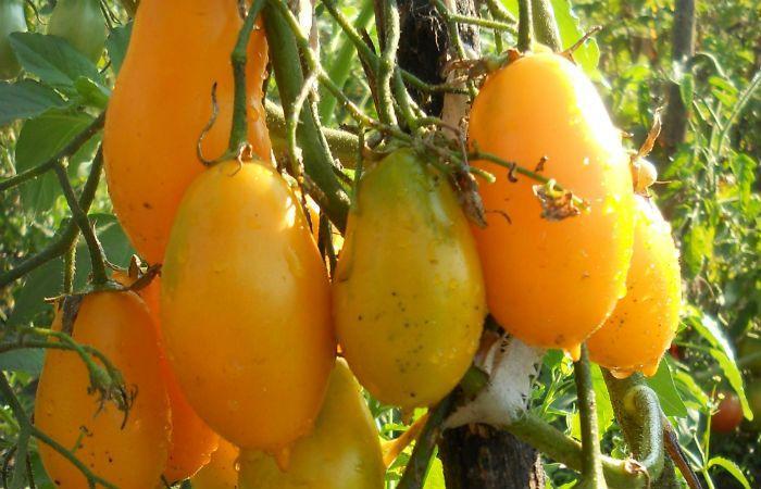 Сорт томатов Желтая сосулька фото
