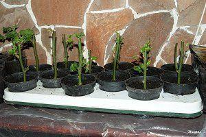 Выращивание роз из черенков фото