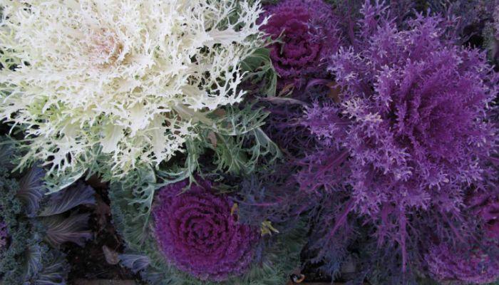 Декоративная капуста Мосбахская фото