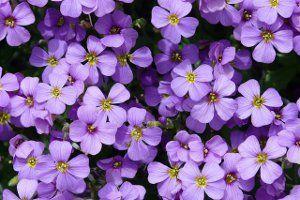 Цветы обриета фото
