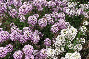 Цветы лобулярия фото