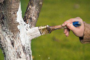Побелка деревьев фото