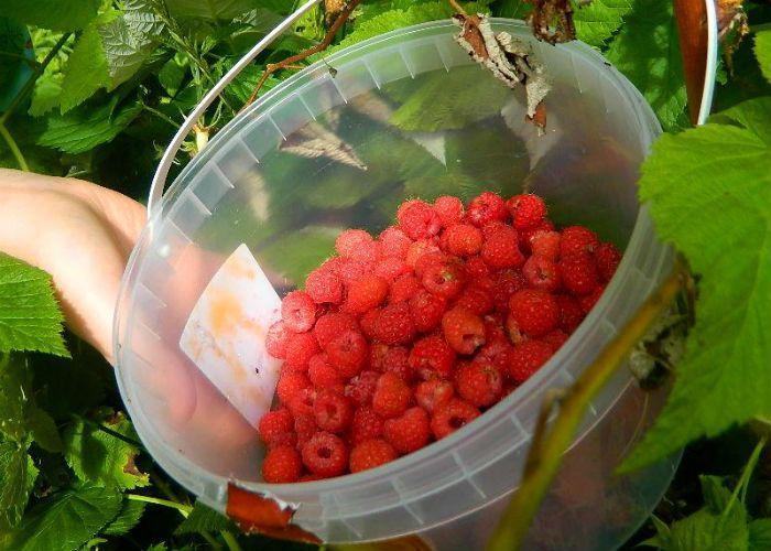 Сорт малины Огонек Сибирский фото