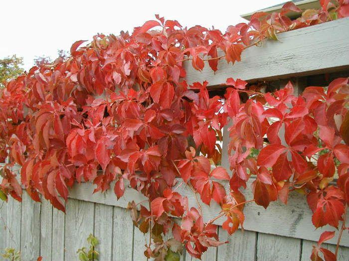 Девичий виноград пятилисточковый фото
