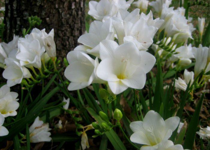 Фрезия белая или преломленная фото