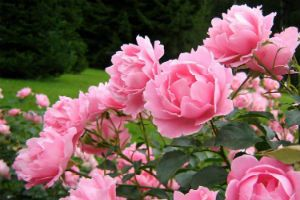Цветущий пион фото