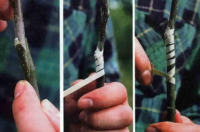Прививка яблони черенком наглядно фото