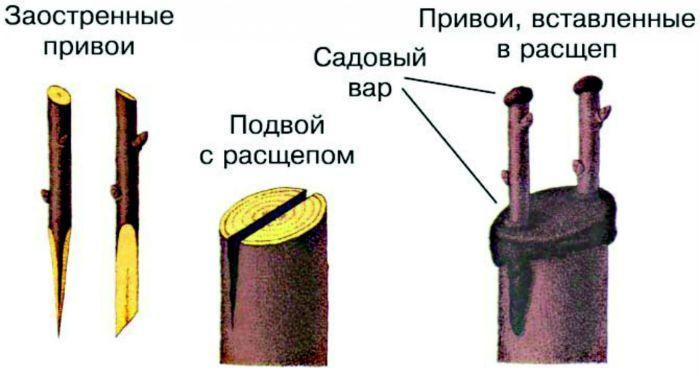 Прививка яблони в расщеп фото