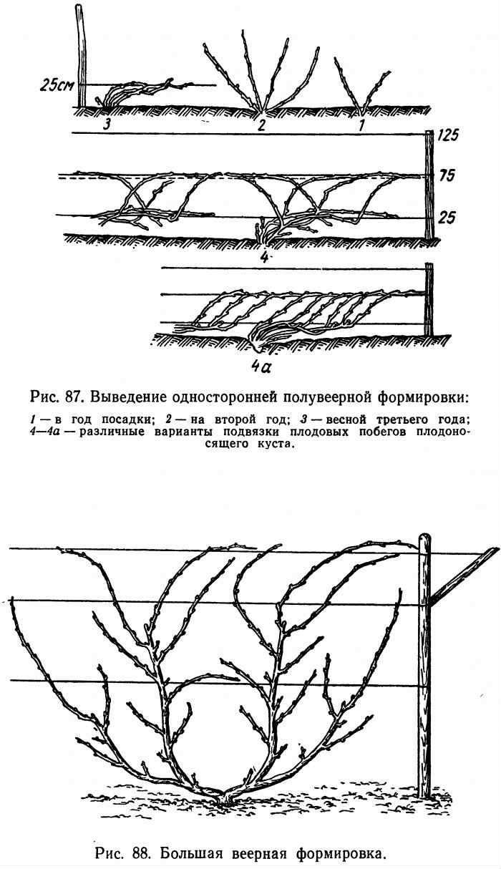 Веерная обрезка винограда фото