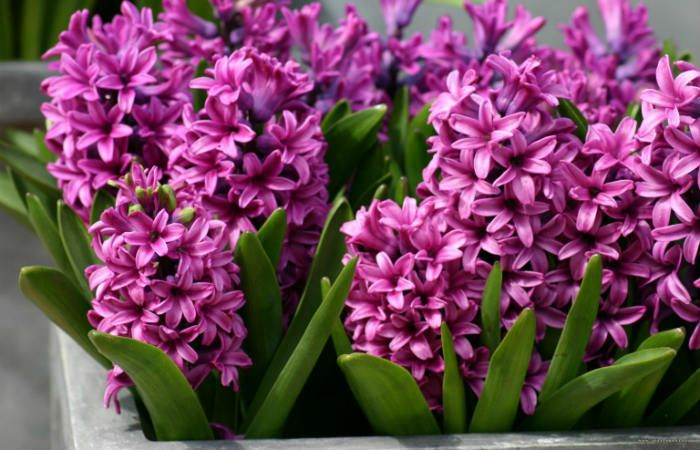 Гиацинт фиолетовый фото