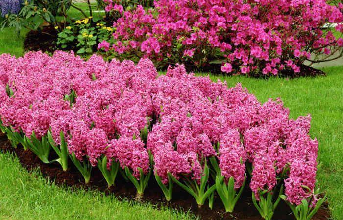 Гиацинт розовый фото