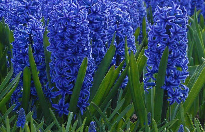 Гиацинт синий фото