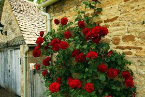 Плетистые розы фото