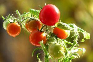 Ранние томаты фото