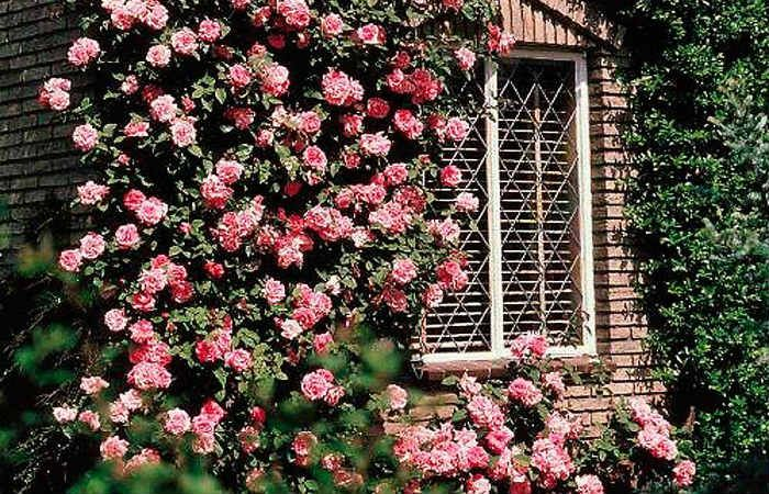 Роза Парад фото