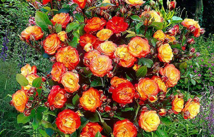 Роза Румба фото