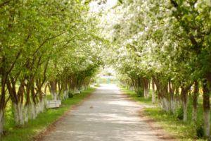 Яблоня цветущая фото