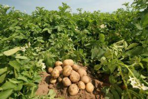 Картофель на грядке фото