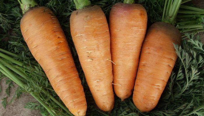 Морковь Красавка фото