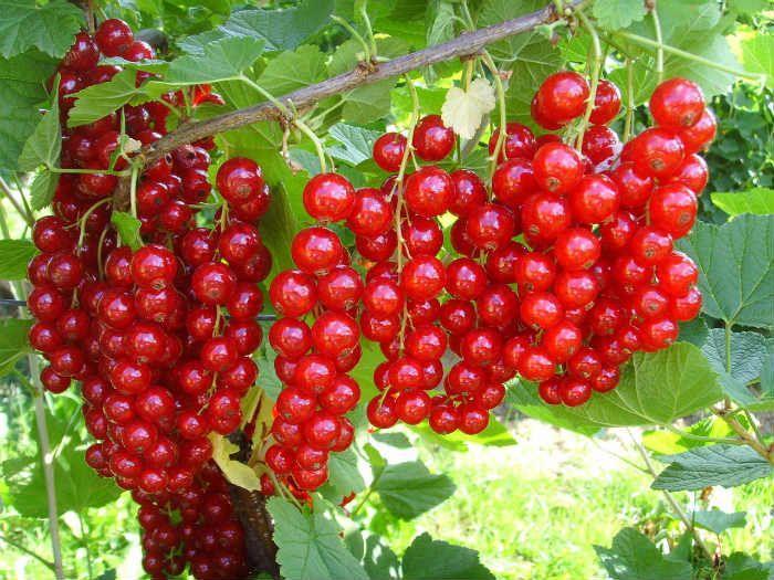 Красная смородина Сахарная фото