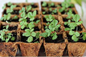 Посадка клубники семенами фото