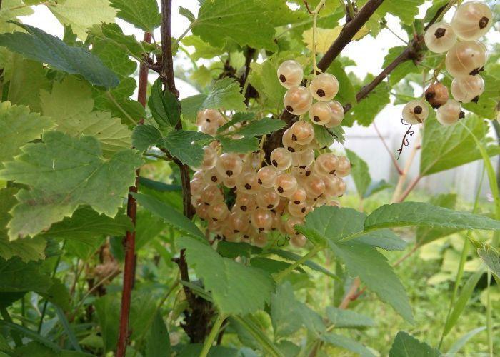 Белая смородина Белый виноград фото