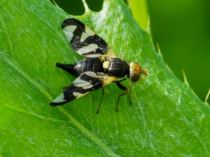 Вишневая муха фото