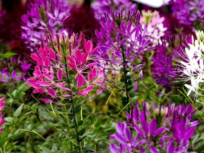 Клеома Цветной фонтан фото