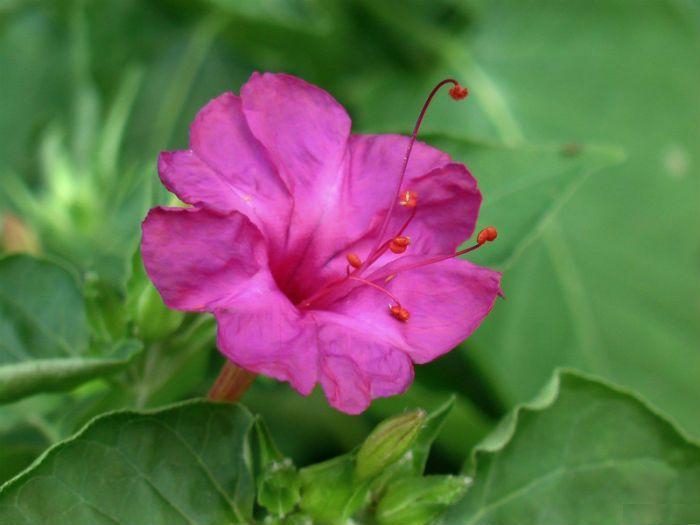 Мирабилис Пурпурный леденец фото