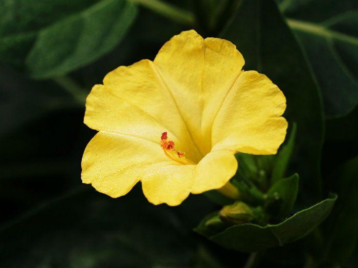 Мирабилис Желтый леденец фото