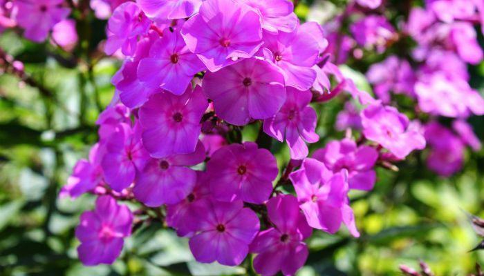 Алиссум Фиолетовая королева фото