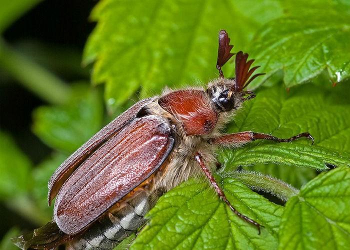Майский жук фото