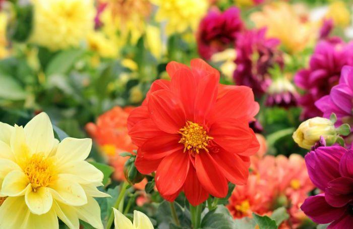 Георгины красные с оранжевым Orangeade фото