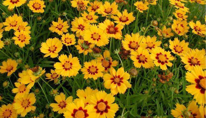 Кореопсис крупноцветковый фото
