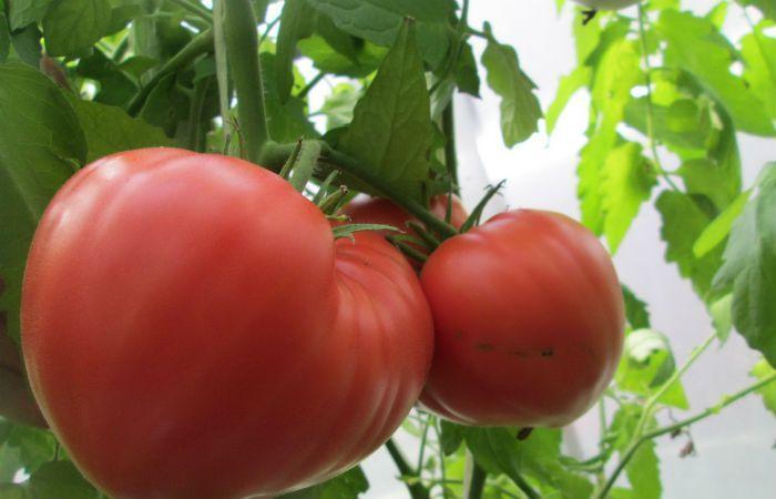 Сорт томатов Абаканский розовый фото