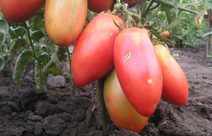 Сорт томатов Балерина фото
