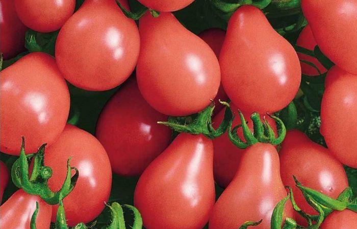 Сорт томатов Московская грушовка фото