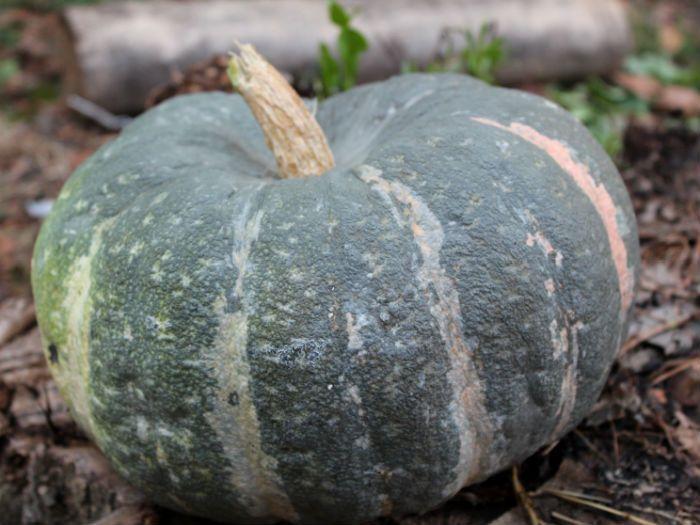 Сорт тыквы Мраморная фото