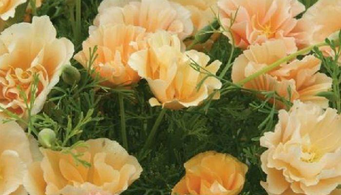Эшшольция персиковая фото