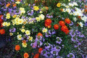 однолетние цветы фото