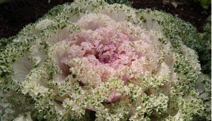 Декоративная капуста Осака фото