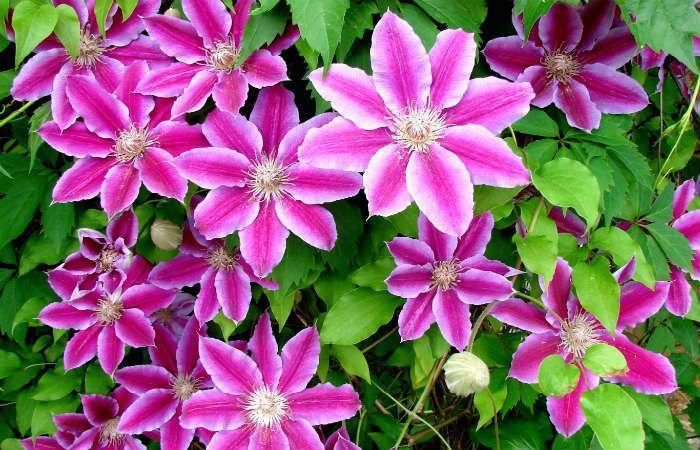 Клематис цветистый фото