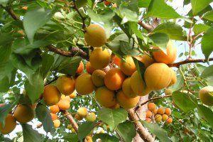 абрикос дерево фото